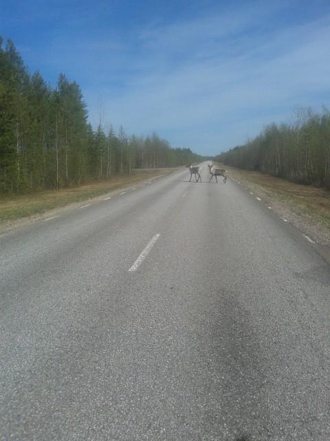 In het noorden vanaf Pajala liepen er veel rendieren.